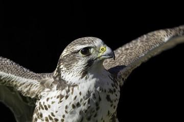 Saker falcon (Falco cherrug) against black background