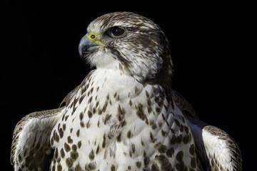 A noble Saker Falcon (Falco cherrug) in heraldic pose