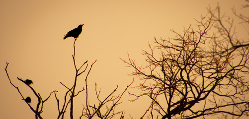 Black Crow on top of trees