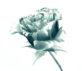 flower isolated on white , the rose