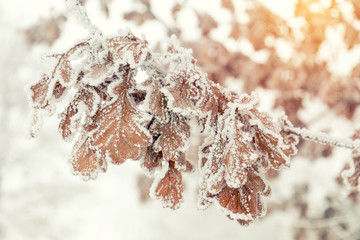 Branch oak tree with dry leaves in snow. Winter background. Oak tree branches covered with hoarfrost.