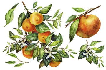 Sunny Mandarin watercolor hand painting botanical art