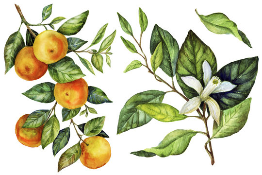 Sunny Mandarin watercolor hand painting botanical art
