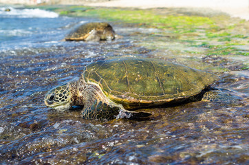 Sea Turtle on the coast of O'ahu, Hawaii
