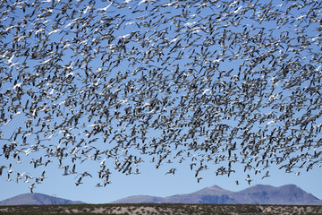 Snow Geese Migrating in New Mexico
