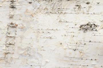 Birch tree bark background Wall mural