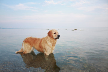 A beautiful golden retriever standing in the seawater on the beach