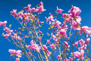 Wall Mural - Magnolia tree. Pink flowers