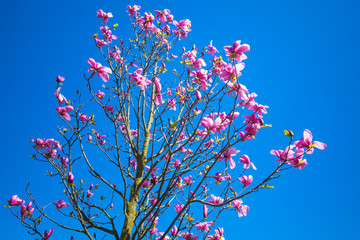 Wall Mural - Magnolia tree with flowers over blue sky