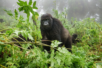 Female mountain gorilla observing tourists in the forest