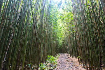 Hawaii, Bambus, Bambuswald, USA, Insel, Sonne, Wald, Weg, Pfad, Jungle