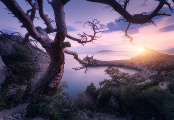 Wall Mural - Amazing old tree in crimean mountains at sunrise. Colorful landscape with tree, rock, sea and purple sunny sky in the morning. Summer forest in mountains. Travel. Nature background. Beautiful coast