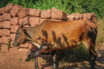Indian brown holy cow coming home from pasture at the late afternoon, Goa, India. Cow is sacred animal in India.