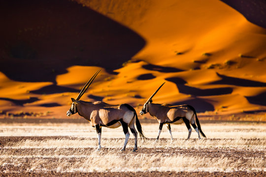 Oryx and dunes - Sossusvlei - Namibia