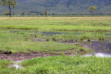 Magpie Geese in swamp near hills in Queensland