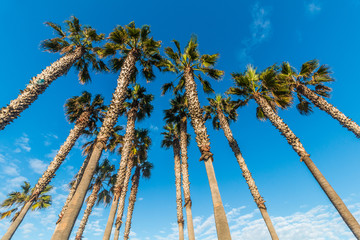 Group of tall palm trees with a background of blue sky and clouds.