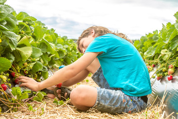 happy young child boy picking and eating strawberries on a plant