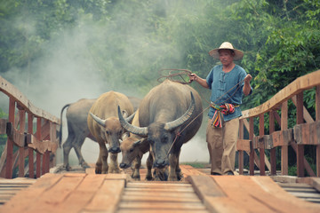 Farmers leash buffalo crossing a wooden bridge in Thailand Asia.