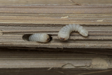 Bamboo worm in Thailand and Southeast Asia.