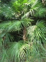 Пушистые ветки маленькой пальмы