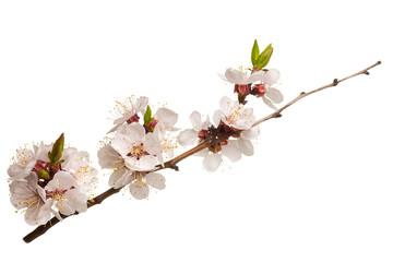 Studio shot of blossom branch of fruit tree isolated on white background Fototapete