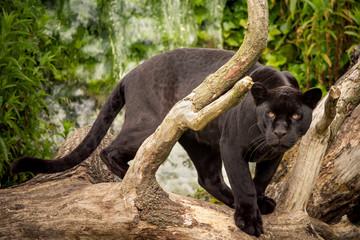 Photo sur Plexiglas Panthère Jaguar