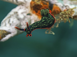 Variable Neon Slug, Neonsternschnecke (Nembrotha kubaryana)