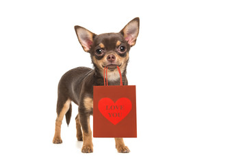 """Pretty brown chihuahua dog standing and facing the camera holding a gift bag in its mouth with the text """"love you"""" on it isolated on a white background"""