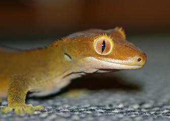Gecko mit Fokus auf dem Auge