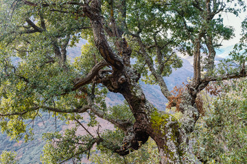 Tronco y ramas con hojas de Alcornoque. Quercus suber.