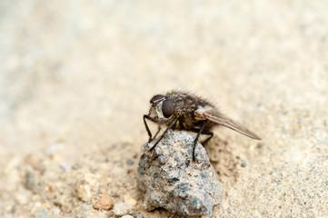 Fliege auf Stein