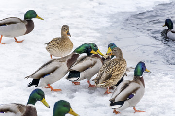hungry ducks eating bread in a winter day with snow falling