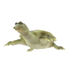 Chinese Softshell Turtle on white. 3D illustration