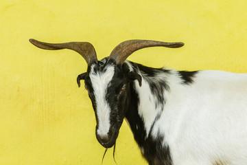Goat Head Horns Portrait