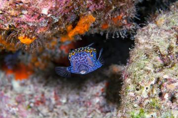 Boxfish close-up. Sipadan island. Celebes sea. Malaysia.
