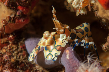 Harlequin shrimp close-up. Similan islands. Andaman sea. Thailan