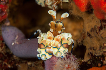 Harlequin shrimp close-up. Similan islands. Andaman sea. Thailan