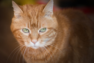 Lovely red cat. Soft focus.