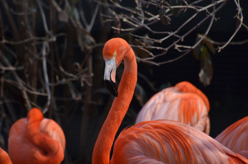 Group of American Flamingoes