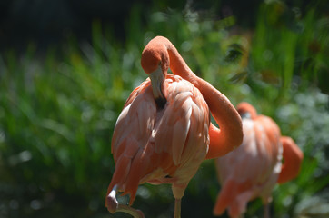 Ruffled Feathers of an American Flamingo