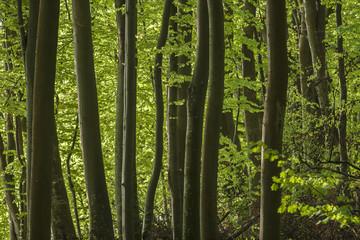 Polish beautiful oak forest on the Baltic Sea