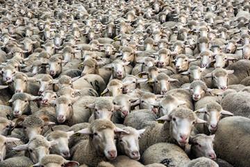 Miles de ovejas