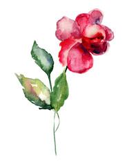 Red Rose flower, watercolor illustration