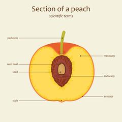 Peach parts names, vector