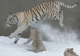 A mother tiger running with her two cubs in the snow.