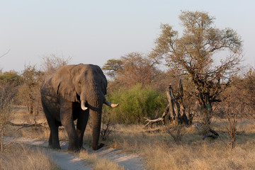 An African elephant walking on a path in Kruger National Park, Zimbabwe, Africa.