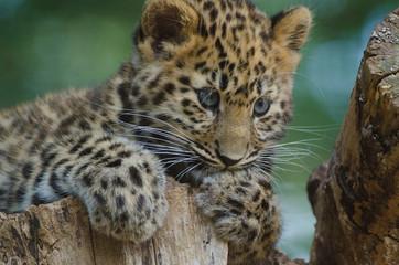 An Amur Leopard Cub