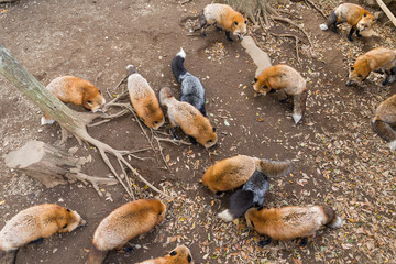 Fox eating all together