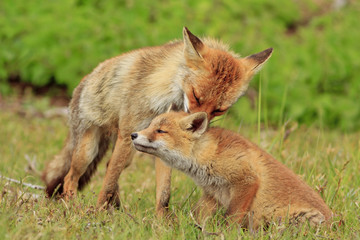 A fox grooming her cub.