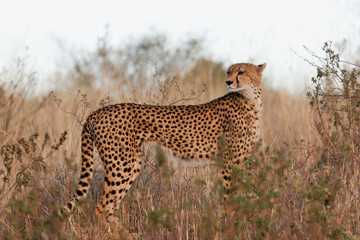 A cheetah amongst the long grass.